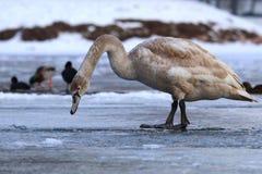 Swan teenager on ice Stock Image