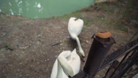 Swan tente de retirer le séchage de la clôture et le dépose au sol. Le deuxième cygne et l'étang sont dans banque de vidéos