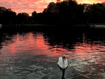 Swan in the Thames river. With sunset, sunset reflection. kingston upon thames stock images