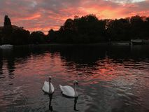 Swan in the Thames river. With sunset, sunset reflection. kingston upon thames stock photo