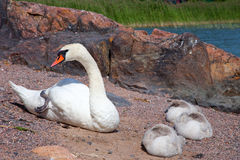Swan with three baby birds having a rest Stock Image