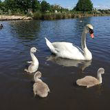 A swan and three cygnets. In the pond royalty free stock photo