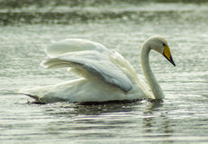 Swan. Time to find something to eat after a long flight to Iceland Royalty Free Stock Photography