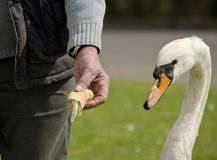 Swan looking at a piece of bread, UK Stock Image
