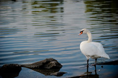 Swan in Toronto Royalty Free Stock Image