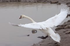 Swan touching down Royalty Free Stock Photo