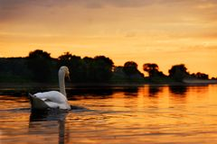 Swan towards the sunset Stock Image