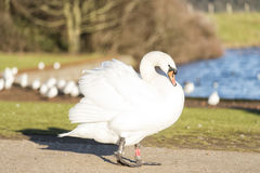 Swan is on track at the farm. White beautiful Swan is on track at the farm Royalty Free Stock Photos