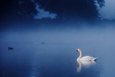 Swan on Tranquil Lake. Swan swimming on lake early one misty morning stock image