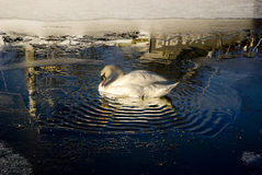 A swan trapped in a small pool surrounded by ice. A swan in England in a small pool in a frozen canal surrounded by ice.  Ripples and reflections in the water Stock Photo