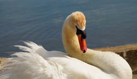 Swan. Royalty Free Stock Photo