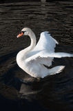 Swan trying to fly. Over the black water of a lake Stock Images