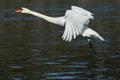 Swan trying to fly Royalty Free Stock Images