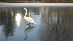Swan trying to walk on ice stock video footage