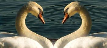 swan två Arkivbilder