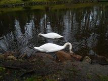 swan två Fotografering för Bildbyråer
