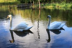 Swan twin Royalty Free Stock Photography
