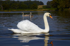 Swan with two birdling royalty free stock photo