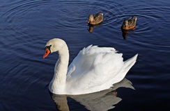 Swan and two ducks. Stock Photos