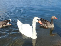 Swan and two ducks. A swan and two ducks on a pond in a park Royalty Free Stock Photography