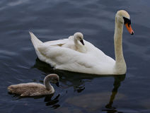 The swan and two of her cute chicks are swimming Stock Photos
