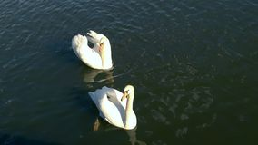 Swan. Two swans floating on the river Vltava Stock Photo
