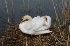Swan. Two swans on the nest Stock Photo