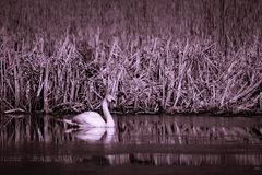 Swan in two tone Royalty Free Stock Images