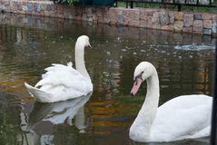 Swan. Two white swans are swimming Stock Photography