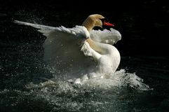 Swan the Tzar in a pond. Swan the Tzar having a bath in a pond Royalty Free Stock Images