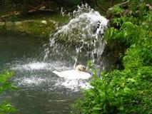 swan-under-waterfall Royalty Free Stock Photos