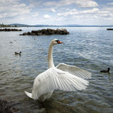 Swan Unfolding its Wings Stock Photo
