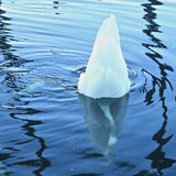 Swan upside down. White swan in blue water turns upside down to search for food on the bottom of the pons Royalty Free Stock Photography