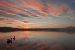 Swan on the Varese lake at sunset. Two swans in a romantic sunset on the Varese lake royalty free stock photography