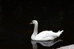Swan. Is very beautiful white bird with bright colorful beak Royalty Free Stock Image