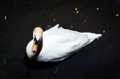 Swan. Is very beautiful white bird with bright colorful beak Stock Photos
