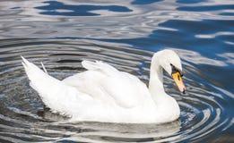 Swan on Vltava river, Prague. stock photography