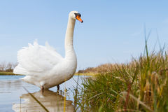 Swan Wading Near the Shore. A white swan with ruffled feathers standing in the water near the lake shore Royalty Free Stock Photography