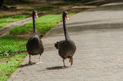 Swan Walk across road. Couple Swan walk across road Royalty Free Stock Image
