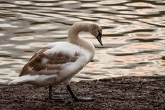 Swan. A Swan walking at the edge of some water royalty free stock photography
