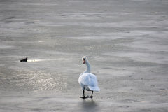 Swan walking on a frozen river in winterin Pancevo, Serbia, while looking in the direction of the camera. Picture of a swan on a frozen river in Pancevo, Serbia Royalty Free Stock Image