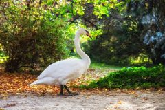 Swan Walking in a Park royalty free stock photography