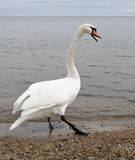 Swan walking on the shore Royalty Free Stock Photos