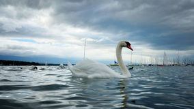 Swan. Was photographed at Lake Geneva. The beginning of autumn. The weather was windy and cool Stock Images