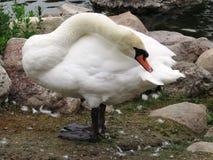 Swan at Wascana Park Regina. Preening swan at Wascana Park Regina Royalty Free Stock Photo