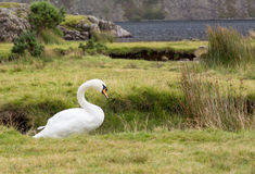 Swan by Wast Water in Lake District Royalty Free Stock Photos
