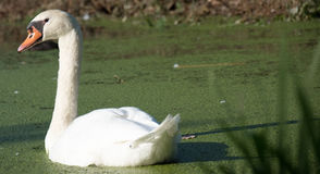 Swan watching Royalty Free Stock Images
