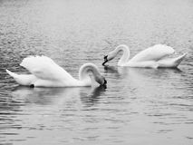 Swan on the water Stock Images