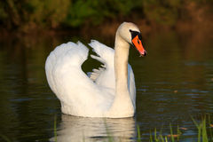Swan on water Royalty Free Stock Photo