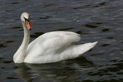 Swan in water Stock Photos